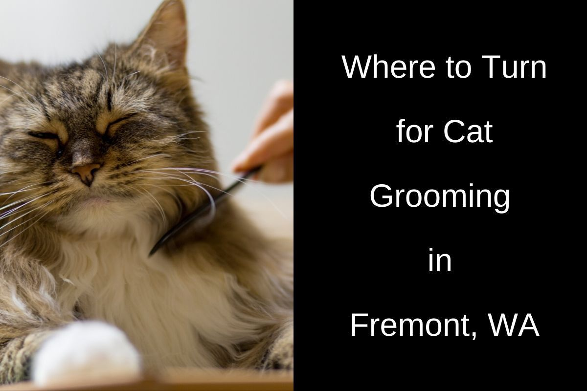 Where-to-Turn-for-Cat-Grooming-in-Fremont-WA-1